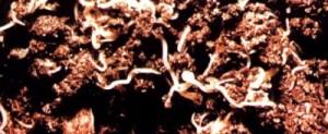 черви-энхитреи