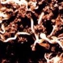 Разведение червей-энхитрей