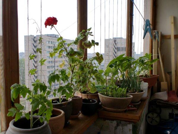 Цветник огород сад на балконе на подоконнике мапаниЯ - стран.